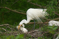 Great or Common Egret's nest--young stimulating adult to regurgitate food.  Southern U.S., May.
