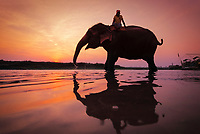 Indian Elephant (Elephas maximus indicus) with rider, drinking, in water at sunset, silhouette, Chitwan National Park, Nepal, Asia