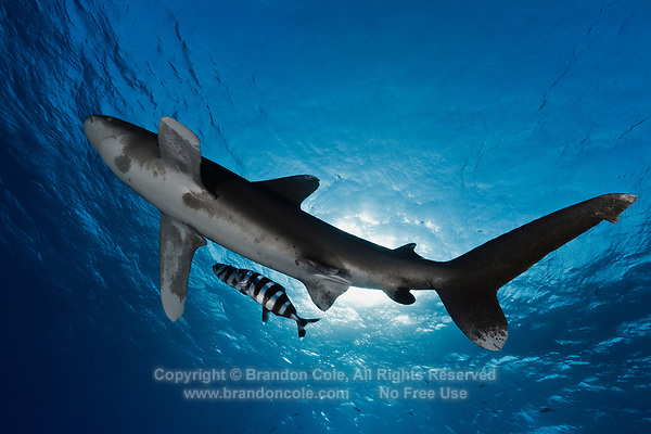 TG0615-D. Oceanic Whitetip Shark (Carcharhinus longimanus), grows to at least 3.5 meters long, widespread distribution in tropical and subtropical oceans worldwide, usually in offshore waters deeper than 200 meters, feeds on wide array of bony fishes, cephalopods, mammals, even birds. Considered a dangerous species, has been responsible for attacks on humans lost at sea. Egypt, Red Sea.<br /> Photo Copyright &copy; Brandon Cole. All rights reserved worldwide.  www.brandoncole.com