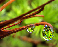 Dew drop of Tamarack needles
