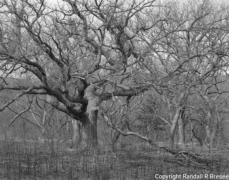&quot;Oak Trees&quot; Konza Prairie Biological Station, Kansas<br />