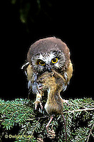 OW03-051z   Saw-whet owl - immature owl with jumping mouse prey - Aegolius acadicus