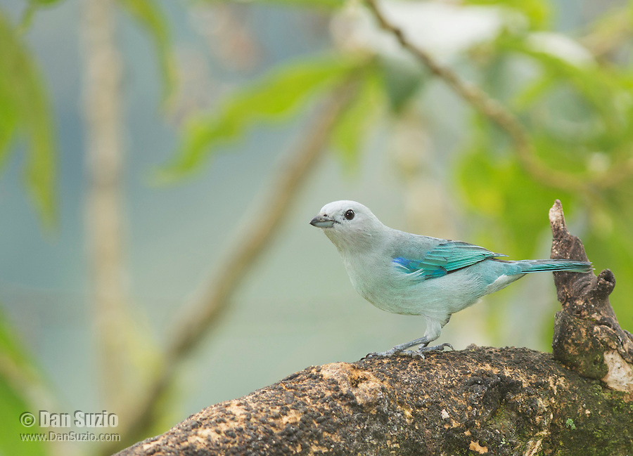 Blue-gray tanager, Thraupis episcopus quaesita. Tandayapa Valley, Ecuador