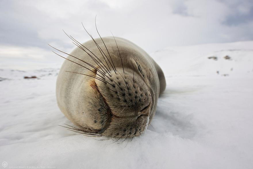 A Weddell seal smiles in his sleep on Deception Island.