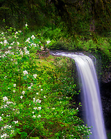 South Falls with Mock Orange blomming bushes. Silver Falls State Park, Oregon