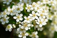 Pyrcantha blossom