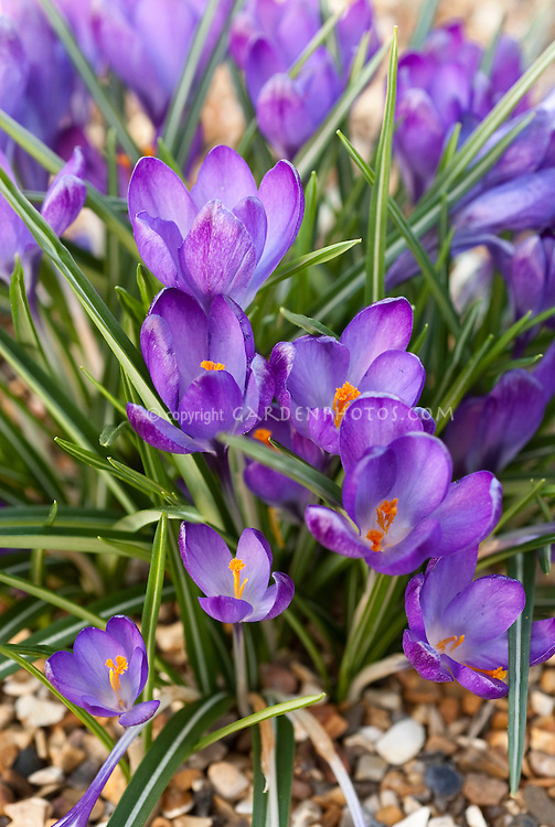 Spring plant flower stock photography gardenphotos crocus tommasinianus ruby giant spring bulb flowers in bloom mightylinksfo