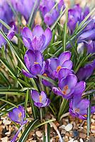 Crocus tommasinianus 'Ruby Giant' spring bulb flowers in bloom