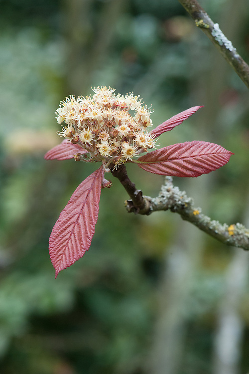 Sorbus megalocarpa, mid April. Flowers and new spring foliage of the Large Fruited Rowan tree.