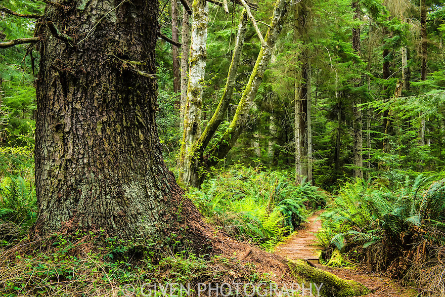 Trail, Old Growth Forest, Washington