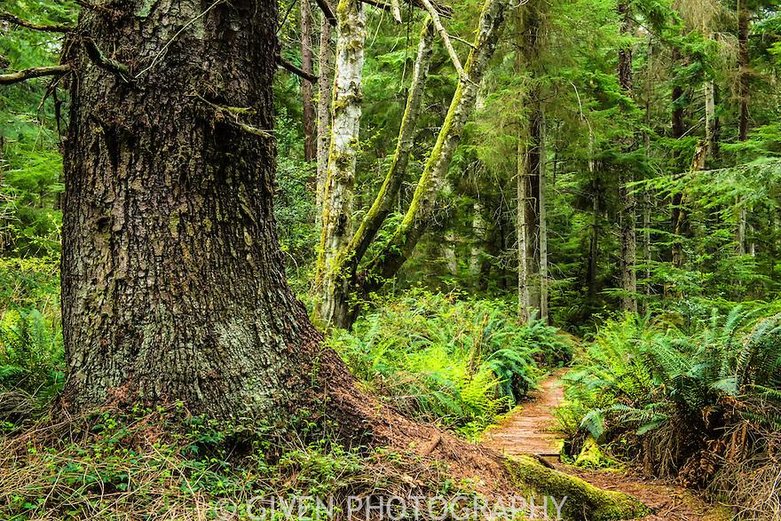 Trail, Old Growth Forest, Washington