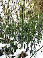 Winter-Schachtelhalm, Winterschachtelhalm, Schachtelhalm, im Winter bei Schnee, Equisetum hyemale, Equisetum hiemale, Dutch Rush, Rough Horsetail, Scouring Rush