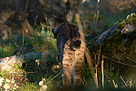 View from  behind of a wild Iberian Lynx walking through woodland