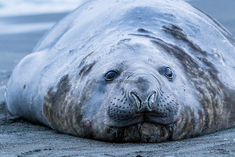 An elephant seal at Gold Harbour, South Georgia, Great Britain, UK
