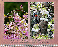 "April of the 2012 Birds of a Feather Calendar.  These photos are called ""Annas Hummingbird on cherry branch"" and ""Red-breasted sapsucker"" which shows a Red-breasted sapsucker (Sphyrapicus ruber) in cherry tree in the Spring with flower blossoms."