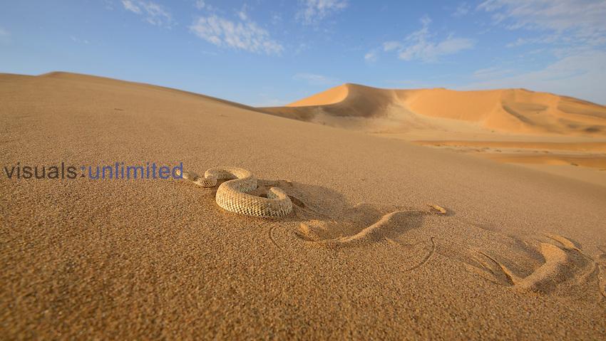 Perinquey's Adder (Bitis peringueyi) sidewinding on dune, Namibia