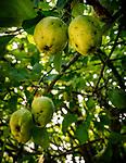 8.6.17 - Green Apples...