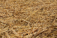 Laid Winter Barley<br /> &copy;Tim Scrivener Photographer 07850 303986<br />      ....Covering Agriculture In The UK....