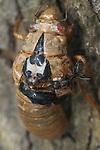 cicada brood II, westfield, NJ