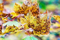 Vine Maple (Acer)  leaf in brilliant fall color.