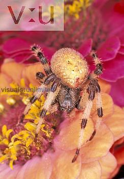 Female Shamrock Spider ,Araneus trifolium,, North America.