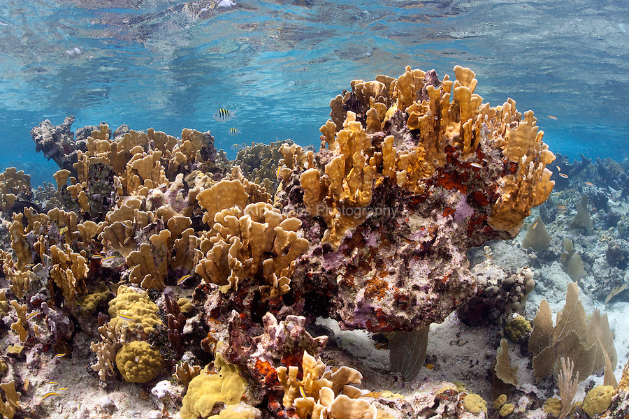 A large stand of Fire Coral at Jardines de la Reina off the coast of Cuba.