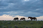 A herd of wild horses graze at sunset in Northwest Wyoming.