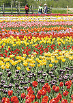Sentinel/Dan Irving.Visitors on Windmill Island check out the tulip plantings on Tuesday afternoon..(5/10/05)