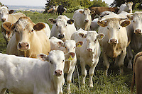 Beef herd, cows and claves, Charolais.