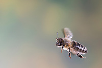 Honigbiene, Honig-Biene, Europäische Honigbiene, Westliche Honigbiene, Flug, fliegend, Biene, Bienen, Apis mellifera, Apis mellifica, honey bee, hive bee, western honey bee, European honey bee, bee, bees, flight, flying, L'abeille européenne, l'avette, la mouche à miel
