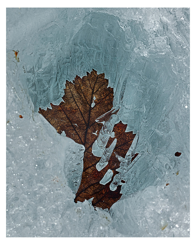 I found this leaf had lain on the bare river ice and over the spring days had absorbed enough sunlight to melt the ice underneath. Slowly it has made a sunken shaft and incredibly the holes in the leaf left  standing icles.