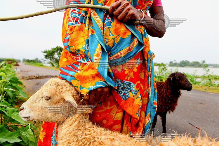 Hasina (32) takes out her sheep on a dry road. Most of the village in submerged in floodwaters during the monsoon season.