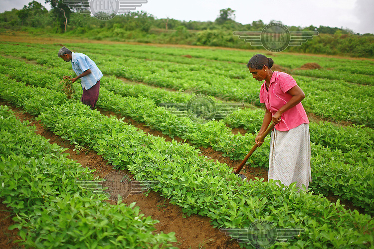 Farmers weeding their groundnut field in Kumbukwewa village. They received a loan and business training from the International Fund for Agricultural Development (IFAD).