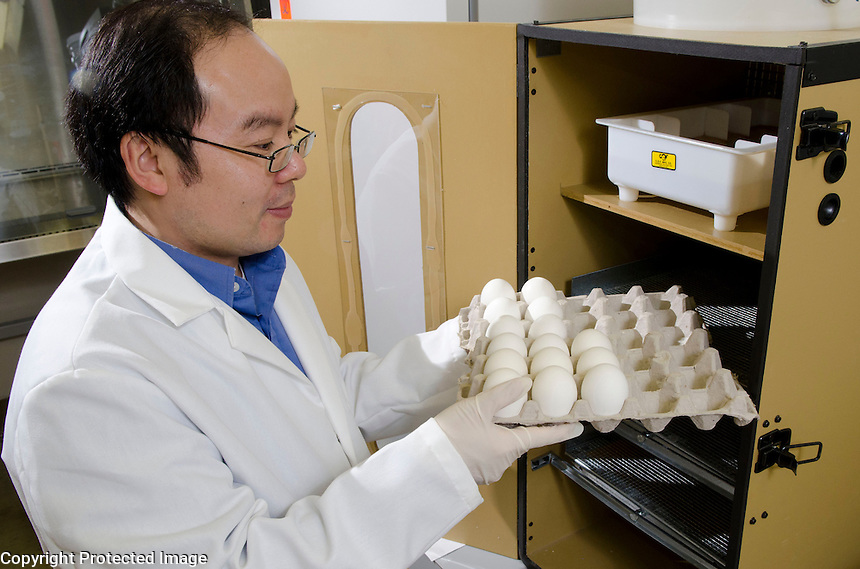 Dr. Henry Wan removes embryonic chicken eggs from incubation.