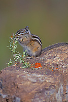 Least Chipmunk feeding in Jasper National Park, Alberta, Canada