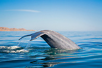 blue whale, Balaenoptera musculus, fluke, endangered species, Isla del Carmen, Loreto Bay National Park, Baja California Sur, Mexico, Guld fo California aka Sea of Cortez, East Pacific Ocean