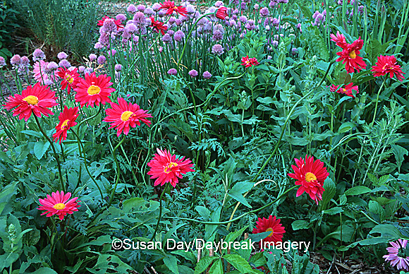 63821-042.09 Painted daisies (Chrysanthemum coccineum) & Chives (Allium schoenoprasum) Marion Co   IL