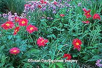 63821-042.09 Painted daisies (Chrysanthemum coccineum) & Chives (Allium schoenoprasum) Marion Co   IL