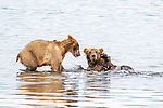 Pictured: Sequence 5 of 6:  One of the bears pushes the other over.<br /> <br /> Two young bears play-fight in a lake, wrestling and pushing one another into the water.  The two males spent over half an hour horsing around in Naknek Lake, near the base of the Alaska Peninsula.<br /> <br /> The Peninsular Grizzlies - also known as Coastal Brown Bears - are two years old, but once they are fully grown will stand around 8ft  tall.  SEE OUR COPY FOR DETAILS.<br /> <br /> Please byline: Nina Waffenschmidt/Solent News<br /> <br /> © Nina Waffenschmidt/Solent News & Photo Agency<br /> UK +44 (0) 2380 458800