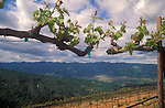 Spring vineyard on Sprint Mountain