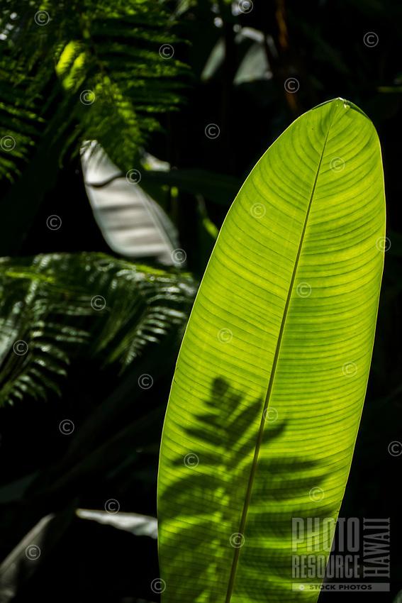 Shadow and light play on green leaves at Hawaii Tropical Botanical Garden near Onomea Bay in Papa'ikou near Hilo, Big Island of Hawai'i.