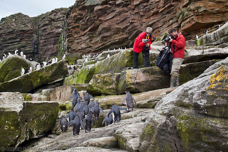 Tourists photograph a Rockhopper penguin colony. New Island, Falkland Islands, United Kingdom