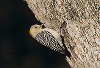 Golden-fronted Woodpecker, Melanerpes aurifrons, female at Oak Tree, New Braunfels, Texas, USA, April 2001