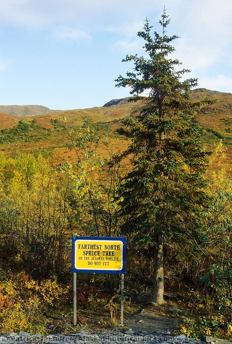 Farthest north spruce tree along the Trans Alaska Pipeline, James Dalton Highway, Brooks Range, Alaska