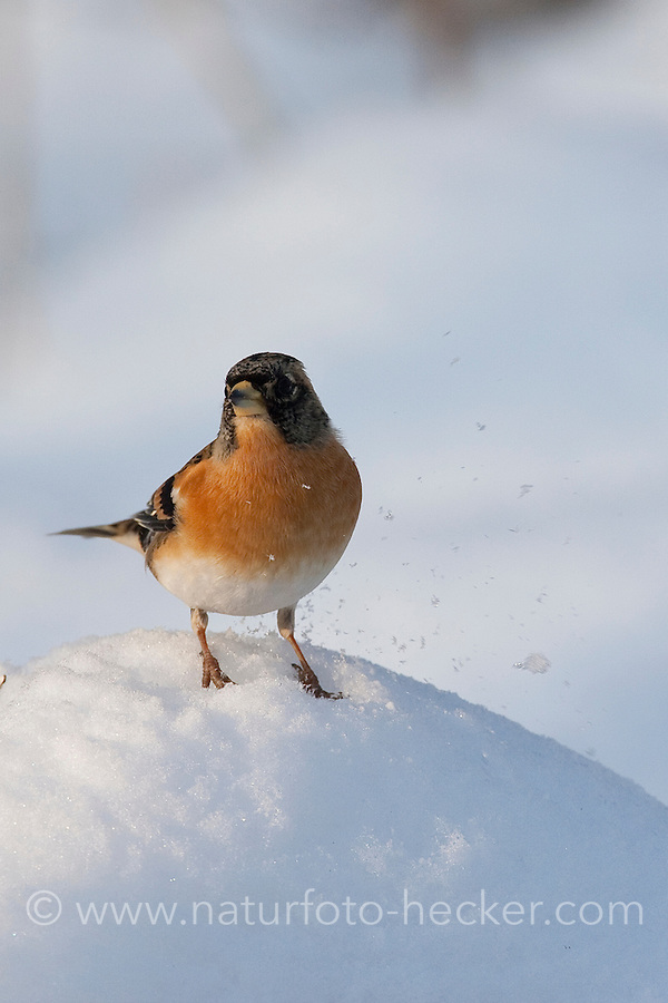 Bergfink, Berg-Fink, Männchen im Schlichtkleid, Fringilla montifringilla, brambling, Pinson du Nord