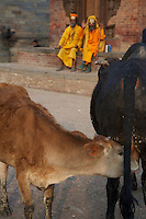 A Cow and Bull & Sadhus Durbar Square and old Town Area