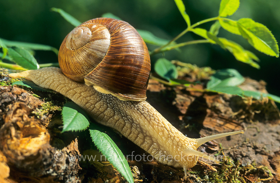 Weinbergschnecke, Weinberg-Schnecke, Helix pomatia, Roman snail, escargot, escargot snail, edible snail, apple snail, grapevine snail, vineyard snail, vine snail