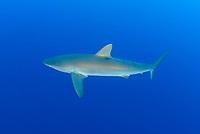 Carcharhinus falciformis, Seidenhai, Silky shark, Insel Cocos, Costa Rica, Pazifik, Pazifischer Ozean, Cocos Island, Costa Rica, Pacific Ocean