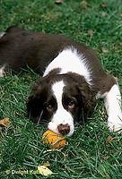 SH22-015z  Dog - English Springer puppy 11 weeks old