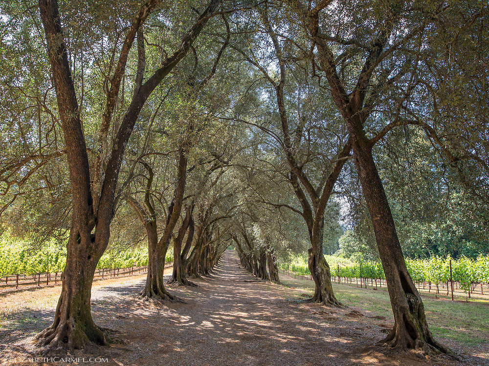 Spring in the Olive Grove